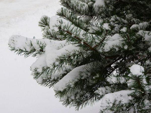 Snow on a spruce branch