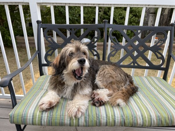Wheaton Terrier Mix Mid-yawn on patio bench