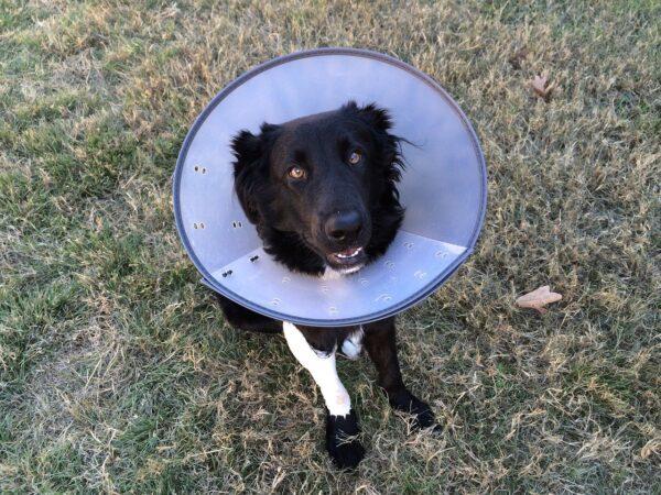 Black dog wearing cone