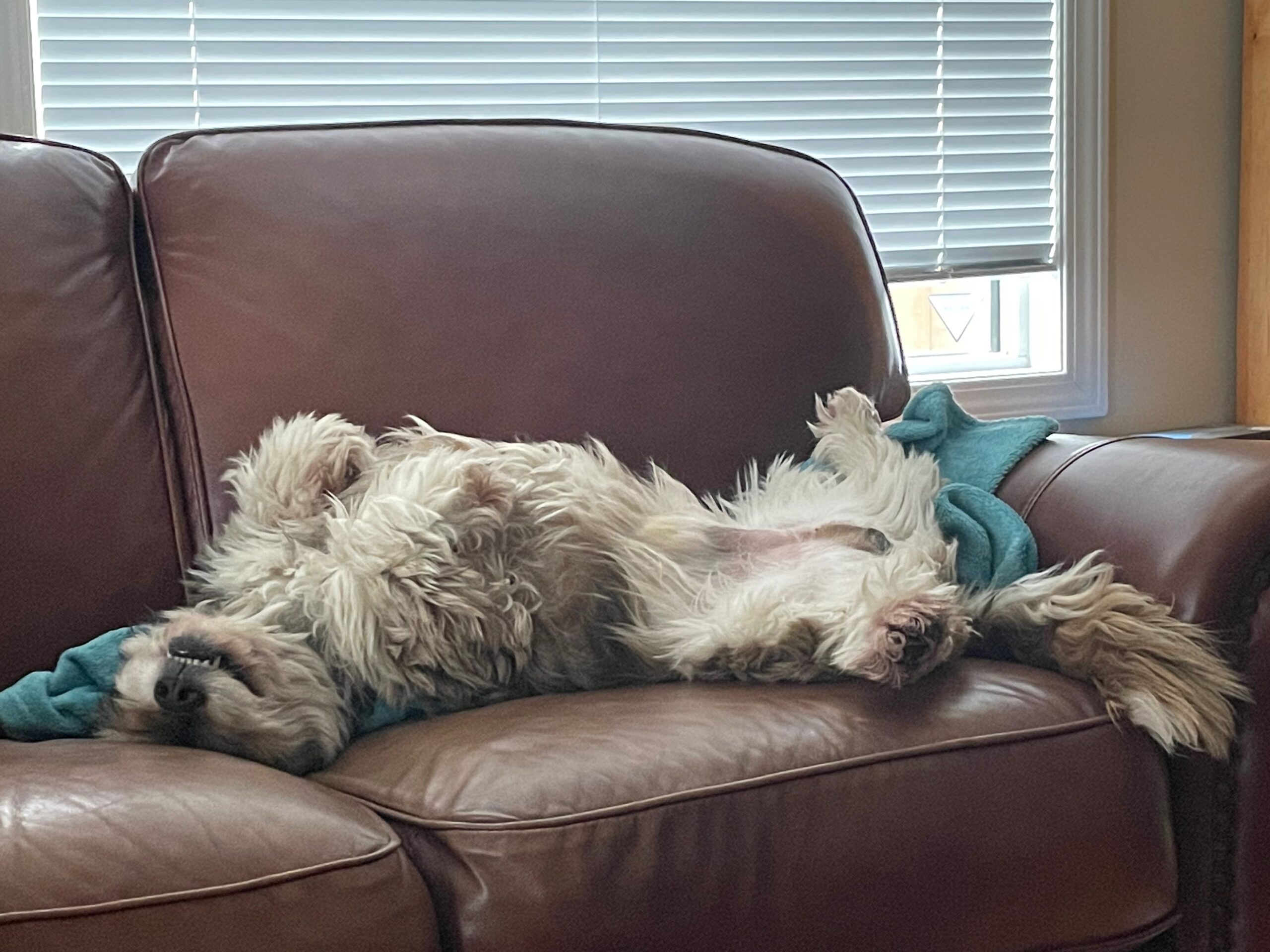 Dog lying on his back on the couch